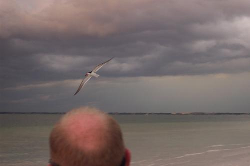 Black Skimmer approaches Mark's head