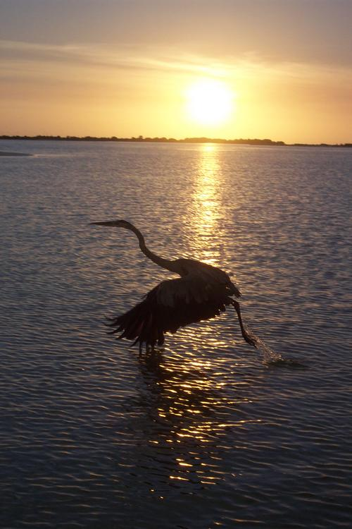 Great Blue takes flight at sunset